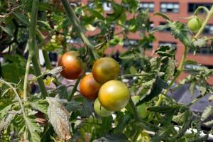 Rooftop-Hydroponic-Garden-3